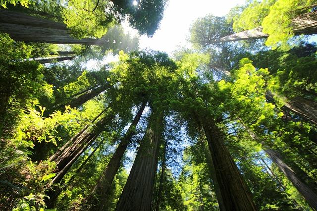大きな木,森,木