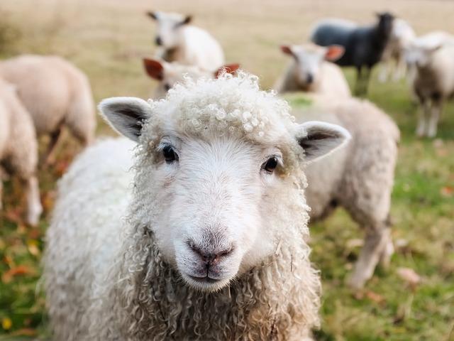 羊,写真,牧場